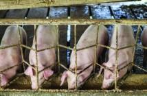 China pigs