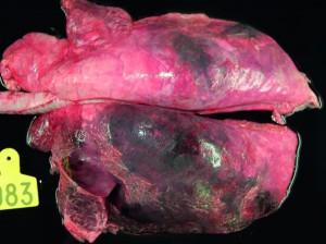 Acute pleuropneumonia