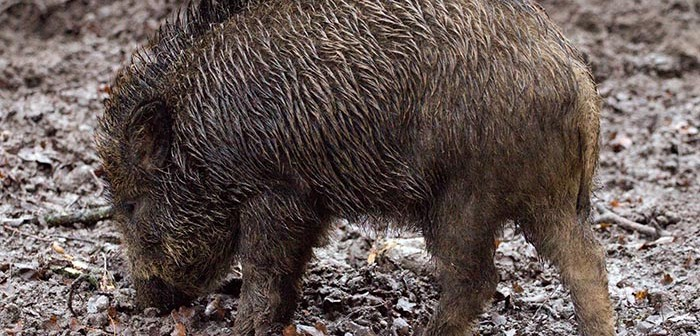 Almost 5,000 wild pigs taken out in Australian pest control shoot