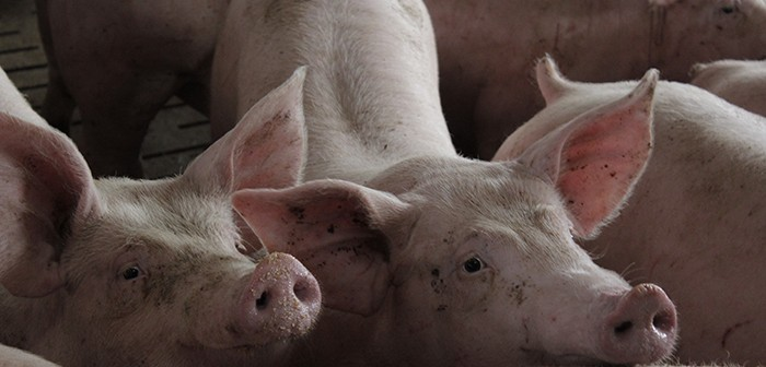 UK pig herd decreased in December