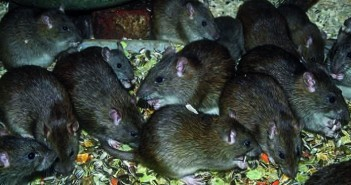 Group of rats