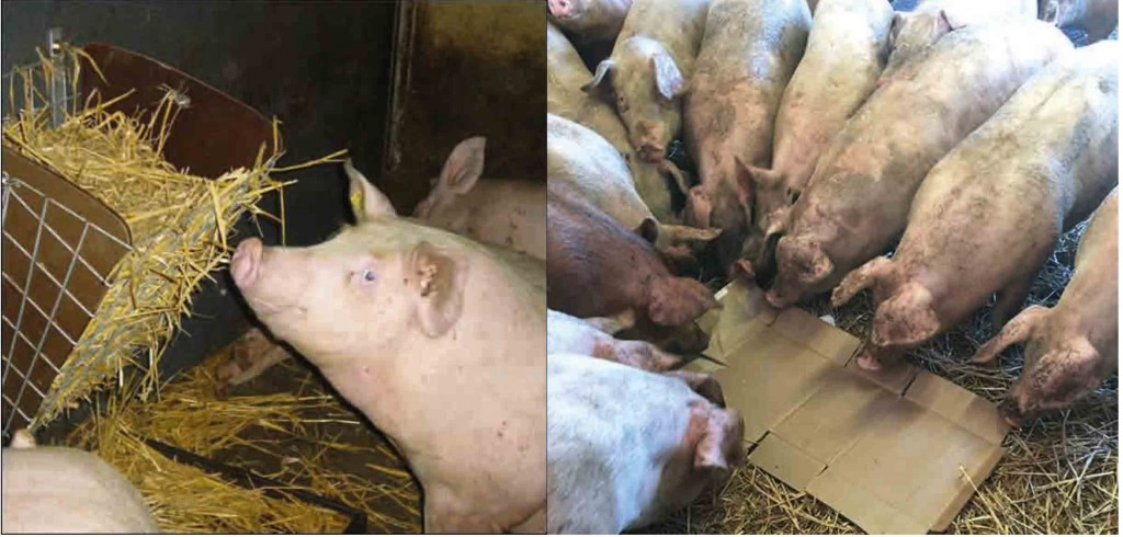 Good quantities of clean straw can be considered as adequate enrichment. Other options include carbdoard (right)