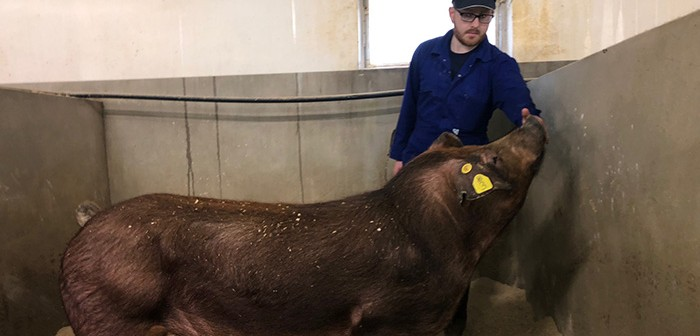 At test, one of the elite Duroc Boars recorded a growth rate of 1,267g per day