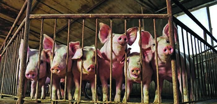 Pig production in China is forecast to fall in 2019 as a result of ASF