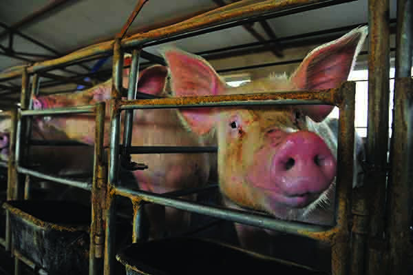 A restructure of the pig industry is under way in China