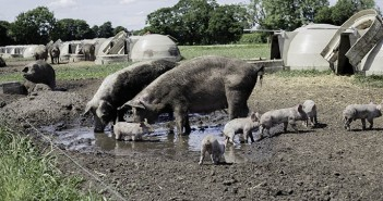Outdoor Sows