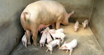 Pig behaviour surprises researchers