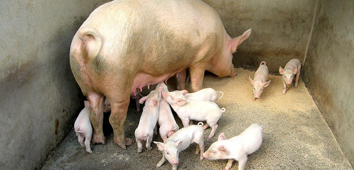 Pig behaviour surprises researchers