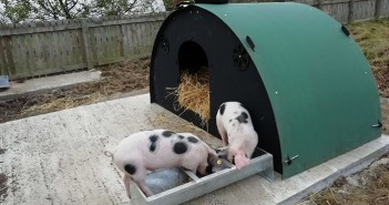 Pigs at Farsley school