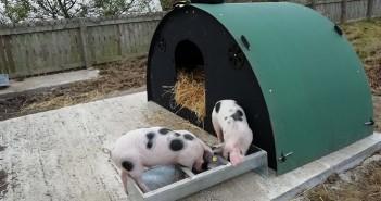 Pigs at Farsley school