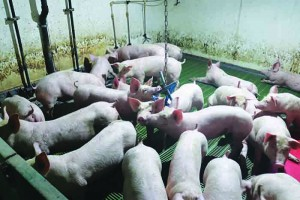 Toys for environmental enrichment, hung from chains, are provided for the pigs