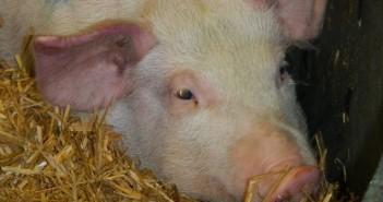 African-swine-fever-symptoms1-e1536051374836-694x336
