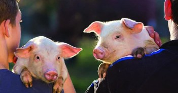 Getting people management right determines how pigs are cared for and perform