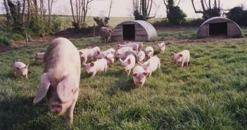 British Lop Sow & piglets (159)