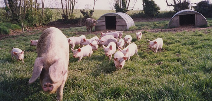 RBST launches project to secure future of traditional Lop pigs