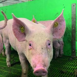 Bridge House Farm is using UHF EID in all animals from birth