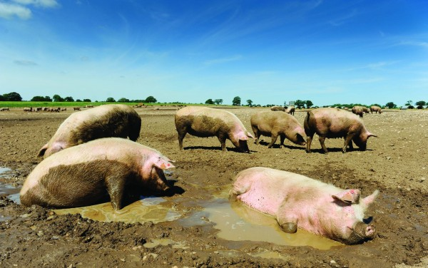 Wayland operates a herd of 10,000 breeding sows, all kept outdoors