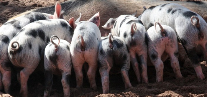 Newcastle uni pigs