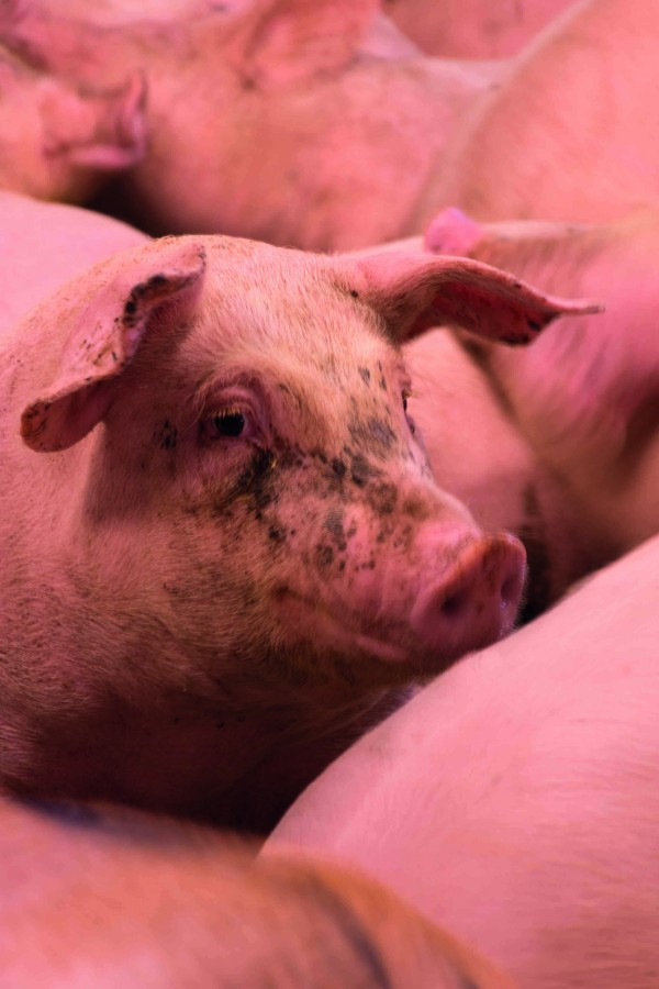 Pigs in the new buildings have fewer health problems due to improved ventilation and hygiene