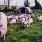 RBST British Lop Sow & piglets (159)