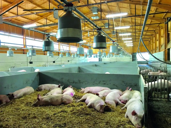 Once served, gilts move into the 'in-pig' yards, where deep straw, dump feeding and natural ventilation are key features