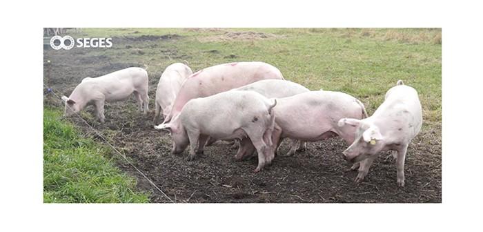 SEGES pigs