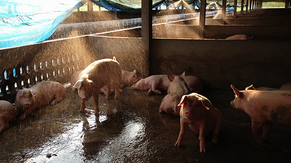 Pigs are much more sensitive to heat than other animals