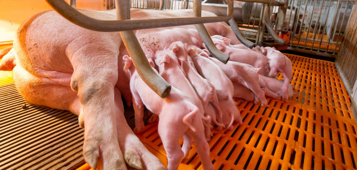 End the cage debate postponed amid parliamentary chaos   Pig