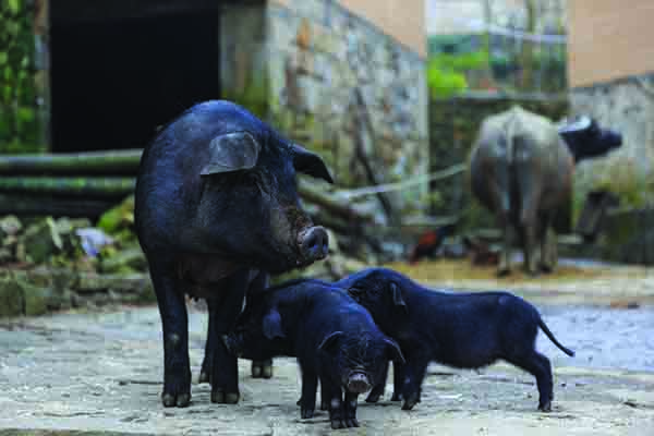 China and neighbouring countries are hugely reliant on pork for their protein needs