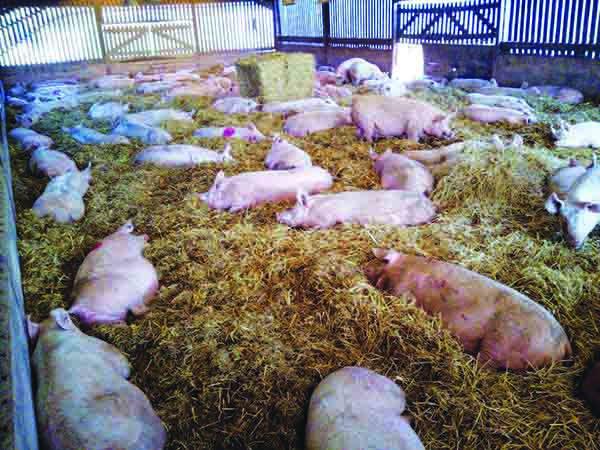 Kenniford dry sows