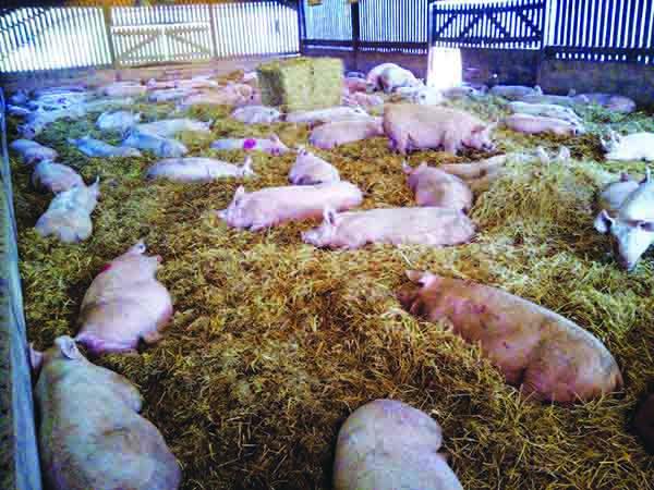 Kenniford dry sows