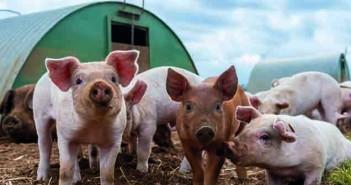 Piglets fed on Vida diets