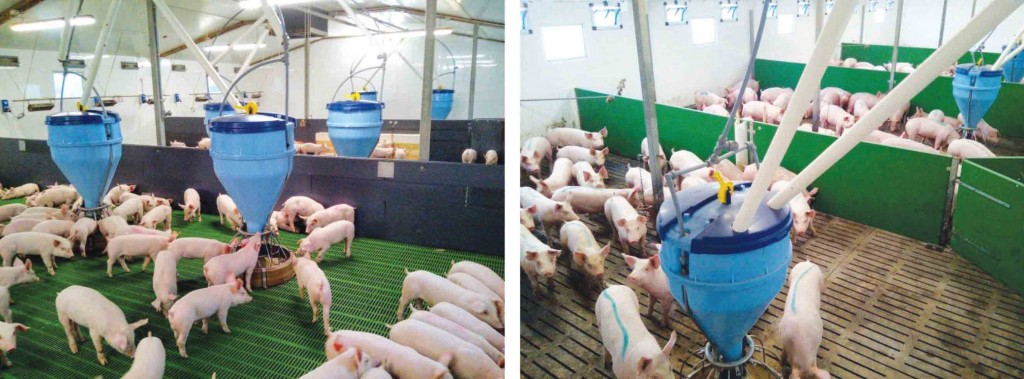 Piglets gain an average 600g/day in the nursery, left, and 1100g/day in the finishers, right
