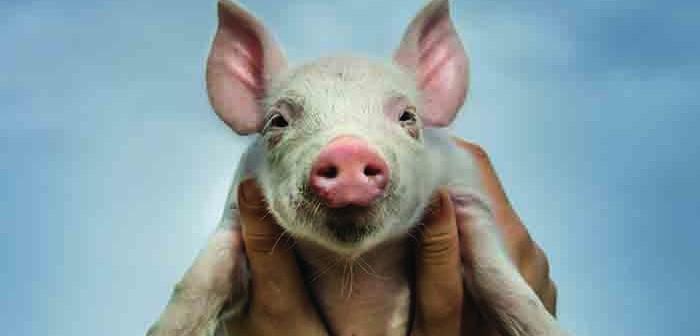 Pig main pic