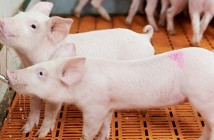 Sick pigs will usually drink, even if their appetite for feed is reduced