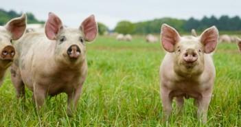 Tulip pigs