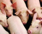 AHDB ammonia trial delivers major boost for pig industry