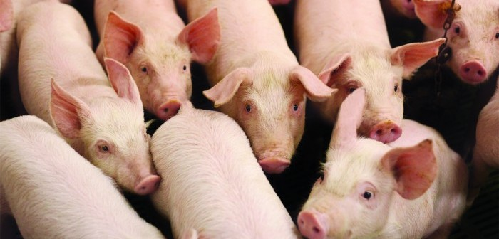 European pig prices under pressure as plant closures and export bans bite