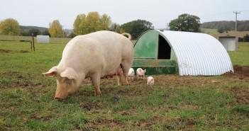 Outdoor-pigs--694x336