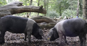 Saddleback pigs RBST