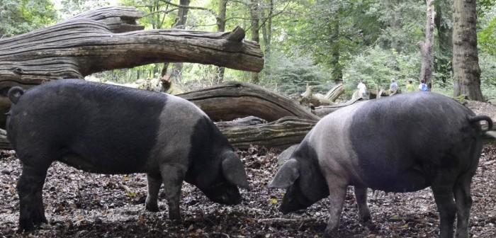 Saddleback pigs RBST