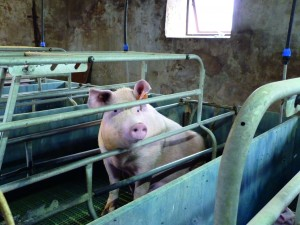 The Thompsons aim to farrow around 25 sows every three weeks