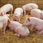Initiative launched to encourage proactive disease control among pig producers