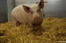 Pig in Pirbright ASF vaccine trial