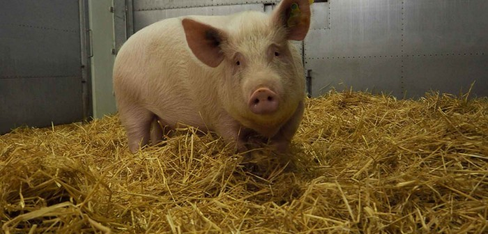 Pig in Pirbright ASF vaccine trial