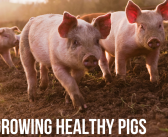 MSD Animal health launches pig industry podcast