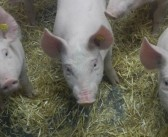 Study shows antibody could provide protection for pigs and humans from flu