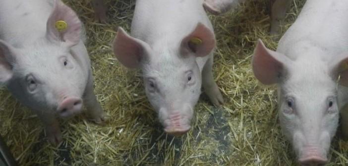 NS20030_Pigs-ears1