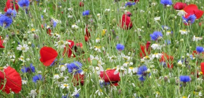 Wildflower-mix-700x336