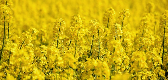 oilseed-rape-5098369_1920